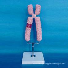 Modelo ampliado de cromossomo humano de alta qualidade para o ensino médico (R180119)