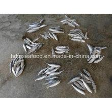 Poisson de haute qualité Grande taille Sardine pour l'appât (Sardinella aurita)