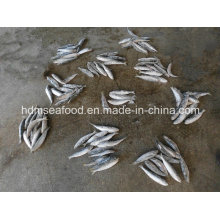 High Quality Fish Big Size Sardine for Bait (Sardinella aurita)