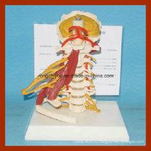 Полные размеры Девиз шейных позвонков мышц Анатомия модели с полным нервом