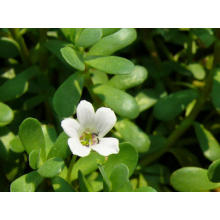 Bacopa Monniera Extract Powder CAS No.: 93164-89-7