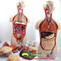 TUNK ANATOMY 12013 Plastic 27 Parts 85cm Espalda Abierta Dual-Sex Anatomical Medical Torso Models