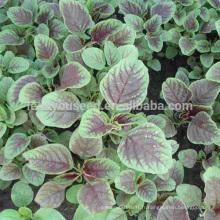 AM01 Dianhong feuilles rondes graines d'amarante rouge pour planter