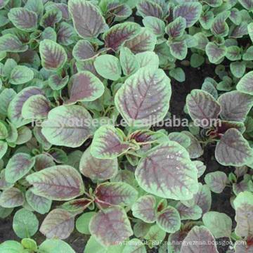 AM01 Дяньхун круглый лист красный амарант семян для посадки