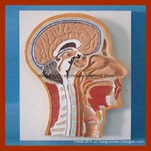Seção Mediana Humana do Modelo Anatômico da Cabeça