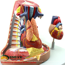 HEART14 (12490) Menschliches mediastinales Atmungssystem-Modell mit Herz-Anatomie für Herz-Doktoren