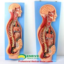 BRAIN17 (12415) Menschliches sympathisches Nervensystem Anatomisches Modell für die medizinische Ausbildung