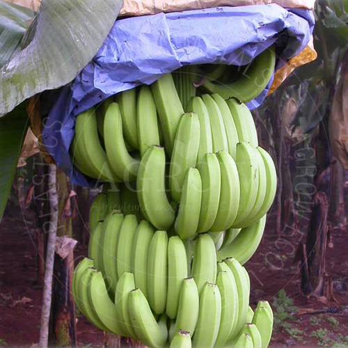 Bagging Bunch Banana in Kraft Protection Paper