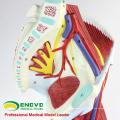 MUSCLE04 (12026) Parties Muscles de jambe avec vaisseaux principaux et nerfs (Modèle anatomique) 12026