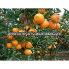 Delicious 2013 Mandarin orange para la venta