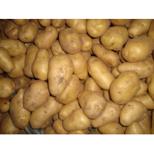 New Crop Potato