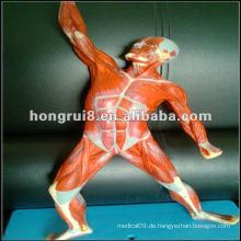 ISO 50cm Menschliches Muskelmodell (Muskelanatomie im Bewegungszustand)