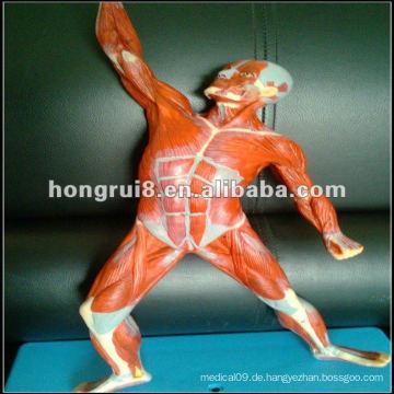 China ISO 50cm Menschliches Muskelmodell (Muskelanatomie im ...