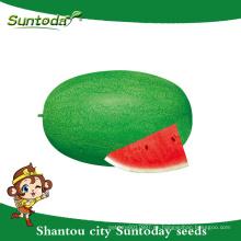 Suntoday resiant para calentar frío verde reliquia mejorar fruta para plantar semilla imagen híbrido vegetal F1 sandía semillas sudán
