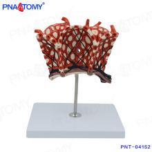 PNT-04152 modelo de cuerpo humano lobuli pulmonum Modelo de alvéolos pulmonares