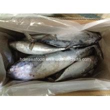 Whole Round IQF Bonito Fish (750g+)