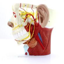 BRAIN21 (12419) Medizinische Wissenschaft Modell Nerven des Kopfes mit Trigeminusnerv und Verzweigungen