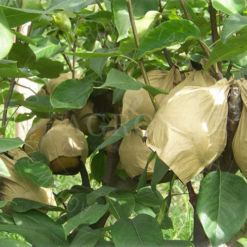 Pear Growing Bags Bagged Pear in Paper