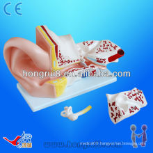 ISO Big Ear Anatomical Model, Anatomical Ear Model, Anatomy Ear