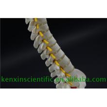 Nueva marca 2017 Mini modelo de columna vertebral para la educación