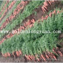 Carottes rouges fraîches de la région de Shandong