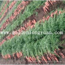 Frische rote Karotte von Shandong-Bereich