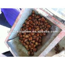 40-60pcs / kg frische Kastanie