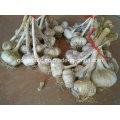 Sementes de alho novas colheitas 1kg