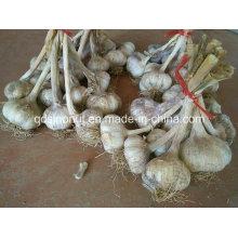 Nuevas semillas de ajo de cultivo 1kg