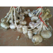 New Crop Garlic Seeds 1kg