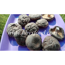 Top Qualität Großhandel getrocknete glatte Shiitake Pilz