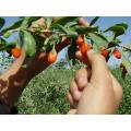 Herbal Goji Berry / wolfberry en polvo con el precio más competitivo