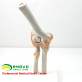 JOINT10 (12357) Medical Anatomy Science Nature Size Skeleton Elbow Joint Models include Flexible Artificial Ligaments