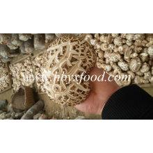 Cogumelo Shiitake Branco Grosso Seco