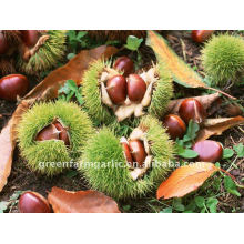 New Chestnut Crops