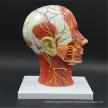 Фабрика Оптовая цена модели 3D анатомия головного мозга
