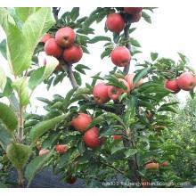 De alta calidad Juicy Red Star Apple para la exportación