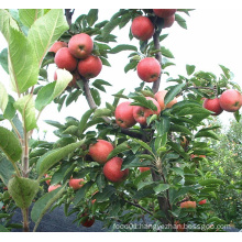 High Quality Juicy Red Star Apple for Exporting