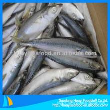 Gefrorene pacific mackerel Scomber Japonicus mit perfektem Preis