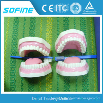 Soft gum standard extraction Teeth Model Jaws