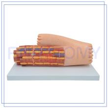 ПНТ-0339 высокое качество сердечной мышцы модель