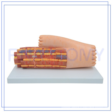 PNT-0339 high quality cardiac muscle model