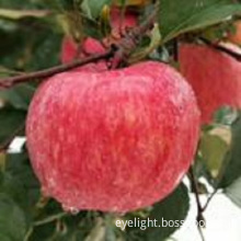 Shandong Province Red Apple