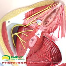 ANATOMY24 (12462) Medicina clínica Tamaño natural Anatomía y biología Educación Modelo de periné femenino