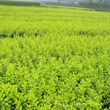 High Production Goji Berry Young Wolfberry Seedlings For Sale