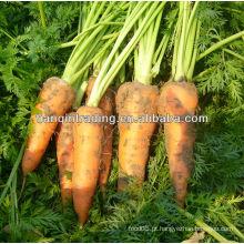 2012 nova cenoura fresca fresca da colheita