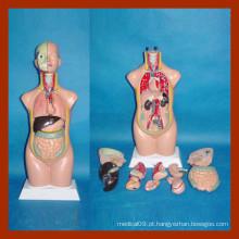 Modelo de torso humano de 50 cm, modelo de torso anatômico (12 PCS)