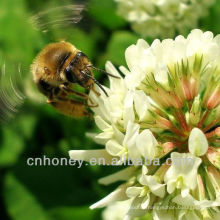 Miel de trébol puro natural orgánico
