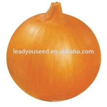 MON01 Jinfu golden-yellow chinese hybrid onion seeds