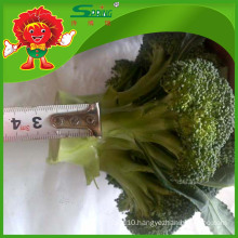 high quality vegetable /fresh broccoli for export